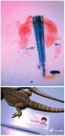 少年携带宠物蜥蜴过安检被查出两条蜥蜴过安检的影像(橙红色部分)