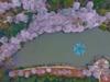 航拍800亩樱花园