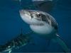 男子拍摄恐怖鲨鱼